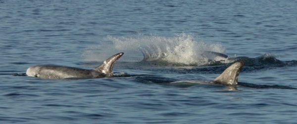 dolphins in monterey bay